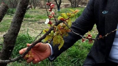 Mersin'de kayısı ağaçları erken çiçek açtı Haberi