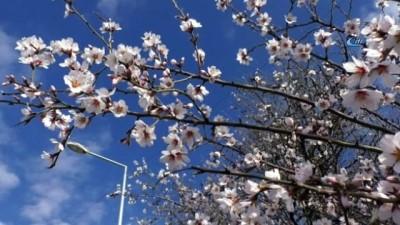Tokat'ta kış mevsiminde meyve ağaçları çiçek açtı