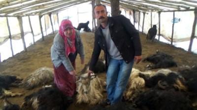 Kurtlar ahırdaki 49 keçiyi telef etti