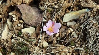 Şubat ayında kar çiçekleri açtı