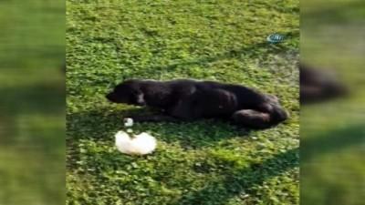 İstanbul'da göbeğinde vahşet...Köpeğin makatına silikon sıktılar