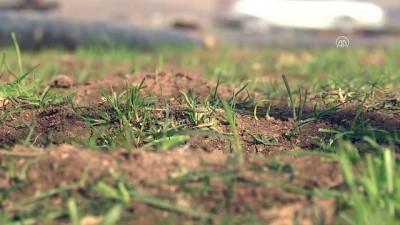 Ocak yağmuru Güneydoğu çiftçisi için 'can suyu' oldu - MARDİN