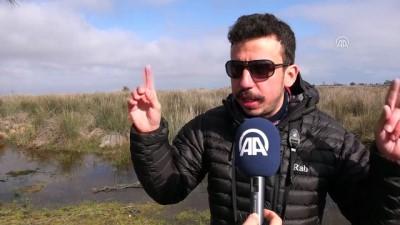 Gri başlı kız kuşu Avrupa'da ilk defa Kızılırmak Deltası'nda görüldü - SAMSUN