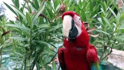Papağan 'Sultan' ile sahibinin dostluğu - DENİZLİ