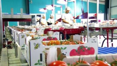 Termal serada üretilen domatesler Avrupa'ya satılıyor - AFYONKARAHİSAR