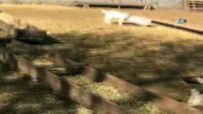 Kafası bidona sıkışan keçi kurtarıldı