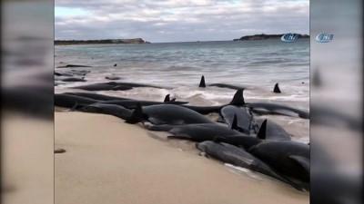 - Avustralya'da 150 Balina Karaya Vurdu