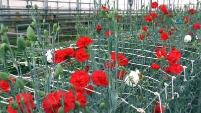Seracılığa öncü olacak projede, zambak ve karanfiller çiçek açtı