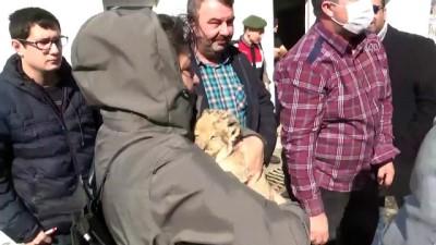 Kamyonetten aslan yavrusu çıktı - EDİRNE
