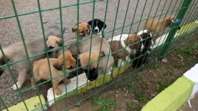 Öksüz kalan yavru köpeklere başka köpek süt anne oldu