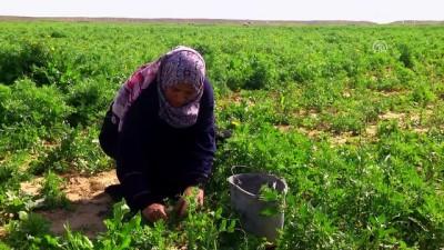 olum riski - Gazzeli kadın çiftçilerin 'ateş hattı'ndaki yaşam mücadelesi - GAZZE