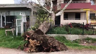 Fırtına 100 yıllık çınar ağacını devirdi - ÇANAKKALE