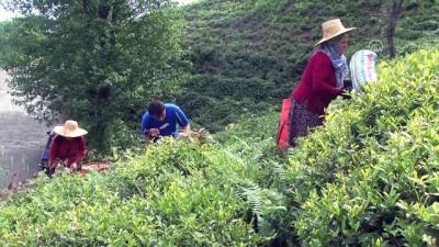 Yaş çayda taban fiyat çalışmaları - RİZE