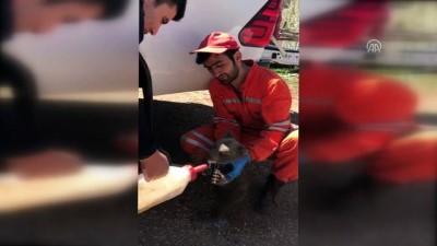 Yol kenarında buldukları yavru ayıyı sütle beslediler - GÜMÜŞHANE