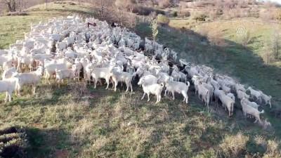 allah - Ankara keçisi yetiştiriciliğine yeniden başladılar