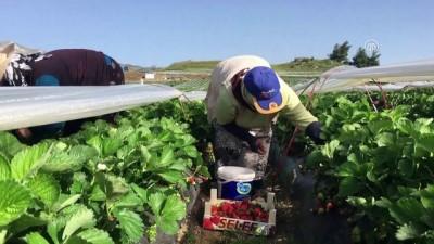 yurt disi - Hatay'daki Türkmenler çilek hasadına başladı