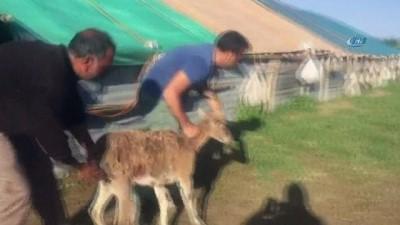 Köpeklerin saldırısına uğrayan dağ keçisini köylüler kurtardı