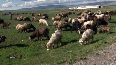 salda - Besicilerin 'çoban' sıkıntısı - MUŞ