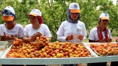 Mersin'in Mut ilçesi 70 bin ton kayısı ihracatı hedefliyor