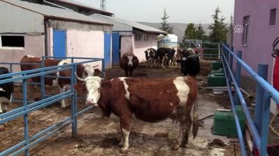 Şehir hayatını bırakıp köyünde hayvancılık yapıyor - ÇANKIRI