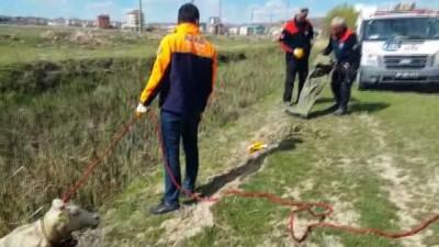 Bataklığa düşen çiftçinin düvesini AFAD ekipleri kurtardı