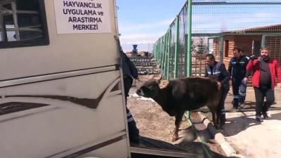 Yediemindeki inek artık yalnız olmayacak - ERZURUM