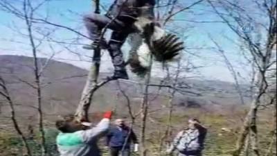 Göç yolunda talihsiz kaza... Ağaca takılıp mahsur kalan leyleği orman işçileri kurtardı