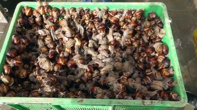 Konya'da 'böcü' toplama sezonu açıldı