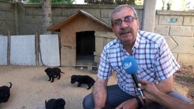 Anneleri kaybolan 10 yavru köpeği marketten aldığı sütle beslemeye çalışıyor - Karaman'da bahçedeki yuvasından aniden ortadan kaybolan golden cinsi anne köpeğin 10 yavrusu ortada kaldı