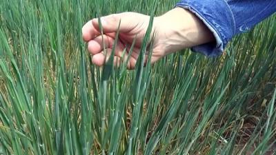 Buğday ve arpalar umutla yağmuru bekliyor