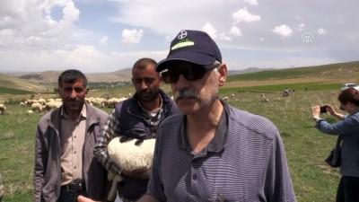 Bafra koyunları yetiştiricileri sevindirdi - NİĞDE