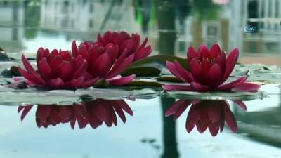 140 çeşit nilüfer çiçek açtı