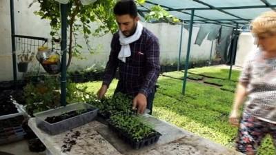 - Burhaniye Türkiye'nin stevia üretim merkezi oldu