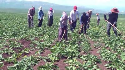 Mevsimlik işçilerin zorlu ramazan mesaisi - MUŞ