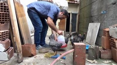 Bu tavuklar sahibinin komutlarıyla hareket ediyor