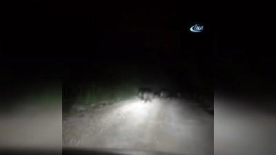 Tarlalara inen domuz sürüsü kamerada
