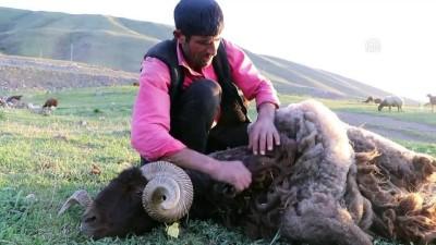 Doğu Anadolu'da koyunlara yayla tıraşı - IĞDIR