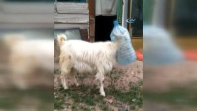 İnatçı keçi kafasını damacanaya sıkıştırdı