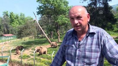 Ovakorusu'ndaki ayıların 15 yıllık bakıcısı (2) - BURSA