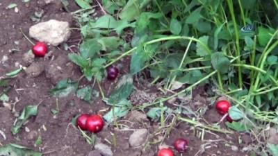 Afyonkarahisar'da dolu meyve bahçelerinde zarara yol açtı