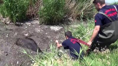 Sazlığa düşen 6 inek kurtarıldı - AKSARAY