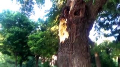kasko - Seyir halindeki otomobillerin üzerine ağaç devrildi - MANİSA