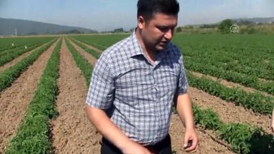 Domates üreticilerine 'feromon tuzağı' desteği - BALIKESİR