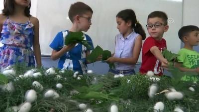 Yaz tatilinde öğretmenleriyle ipek böceği yetiştiriyorlar - SAMSUN