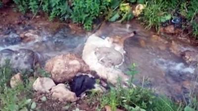 Sürüden ayrılan koyunlara kurtlar saldırdı, 40'ı telef oldu