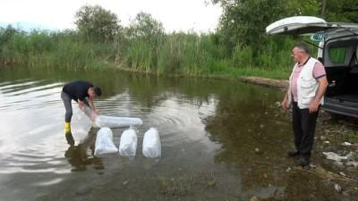 İznik Gölü'ne 45 bin adet yavru sazan bırakıldı
