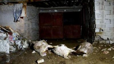 Karaman'da sokak köpeklerinin koyunları telef ettiği iddiası