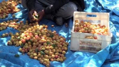 Kayısının başkentinde bereketli hasat - MALATYA