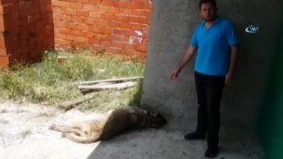 Kulübesinde bağlı hamile çoban köpeği vurularak öldürüldü