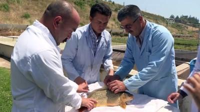 DSİ'den baraj göllerine her yıl milyonlarca balık - İZMİR